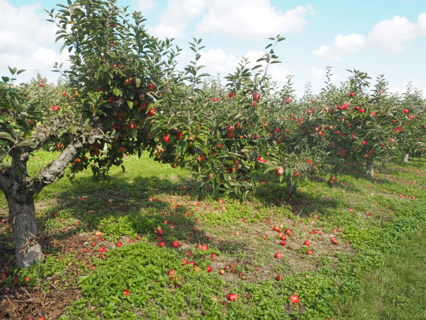Apple Picking at Castle Farm Shoreham